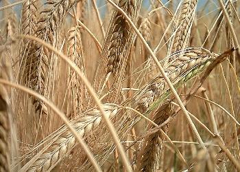 Barley and health benefits